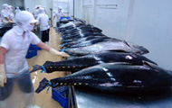 Vietnam's tuna exports on the rise
